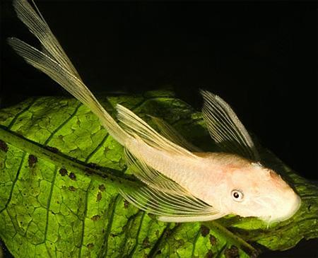 Анциструс вуалевый золотой (Ancistrus dolichopterus var. gold)
