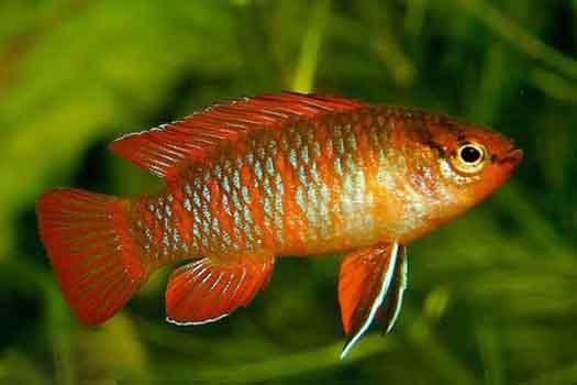 Рыба-хамелеон (Badis badis Hamilton-Buchanan, 1822)