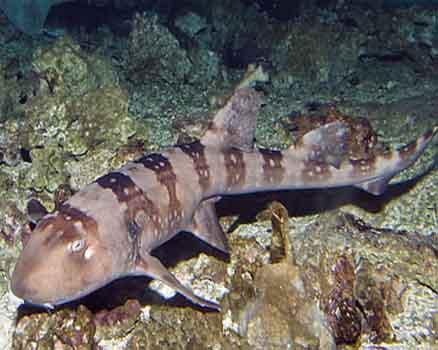 Белопятнистая кошачья акула (Chiloscyllium plagiosum)