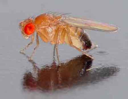 Плодовые мушки, дрозофилы (Drosophila)