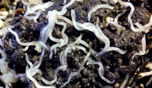 Белый горшечный червь (Еnchhytzaeus albidus)