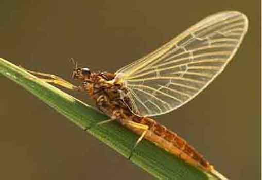 Поденки (Ephemeroptera)