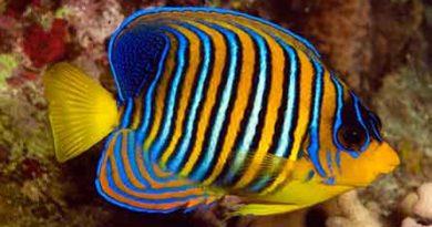 Королевский морской ангел (Pygoplites diacanthus)