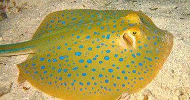 Хвостокол синепятнистый рифовый (Taeniura lymma)