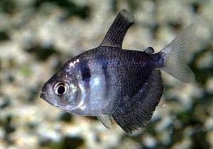 Аквариумные рыбки. Чёрная тетра