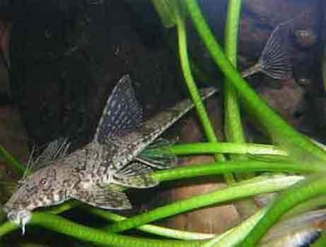 Дасилорикария (Dasyloricaria)