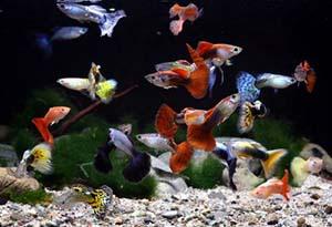 Аквариумные рыбки. Гуппи