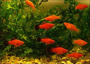Аквариумные рыбки. Меченосцы