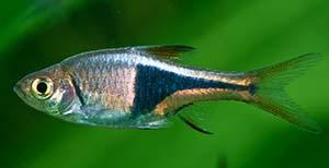 Аквариумные рыбки. Расбора Арлекин