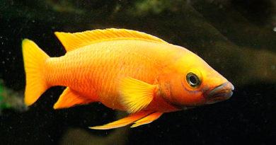 Лампрологус апельсиновый (Lamprologus leleupi Poll, 1956)