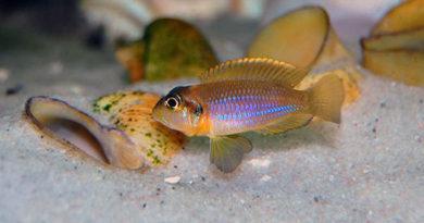 Лампрологус глазчатый (Lamprologus ocellatus)