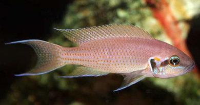 Принцесса Бурунди или Лампрологус прекрасний (Lamprologus brichardi, Neolamprologus brichardi)