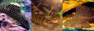 Особенности вьюновых аквариумных обитателей