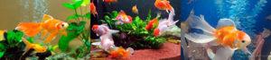 Особенности золотых рыбок