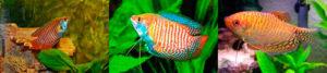 Уживаемость гурами с другими аквариумными видами