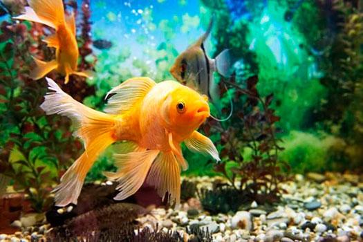 Что нужно знать перед покупкой золотых рыбок
