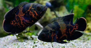 10 самых красивых видов рыб Оскар