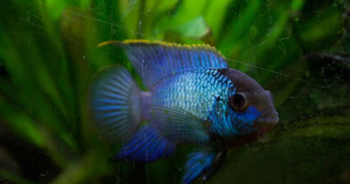 Голубая акара