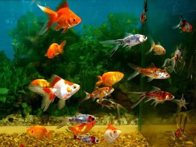 Корм для аквариумных рыбок: какой лучше, виды (живой, сухой, замороженный, растительный), вспомогательные ингридиенты
