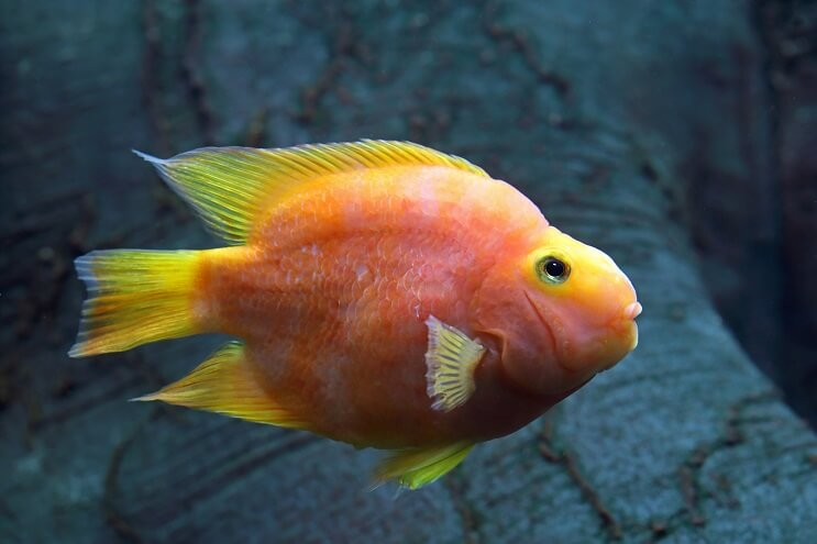Complete Blood Parrot Cichlid Care Guide: The Unique Hybrid - Fishkeeping World