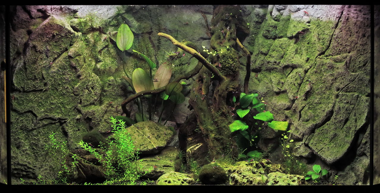 Отглеждане на скариди Кардинал (Caridina dennerli) | Българска аквариумна енциклопедия