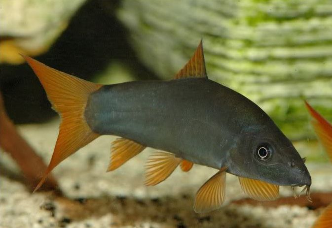 Голубая боция (Yasuhikotakia modesta)