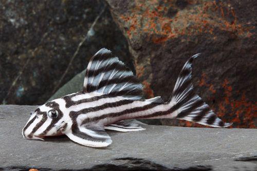 Гипанциструс зебра (Hypancistrus Zebra «L046»)