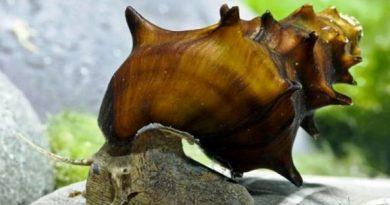 Бротия пагодула (Brotia pagodula)