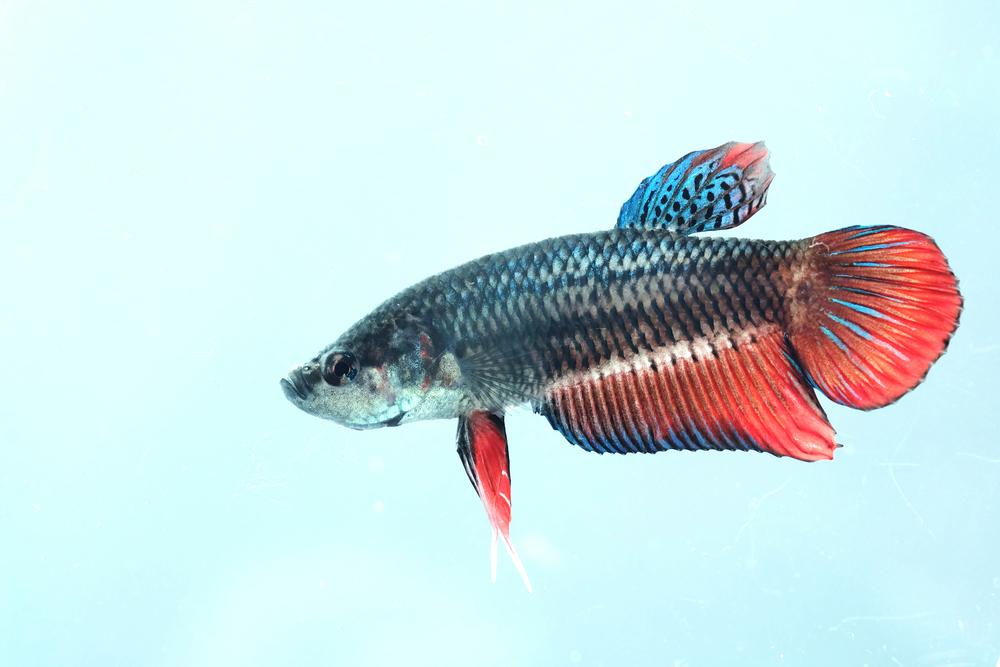 Самка петушка: рыбка-королева вашего аквариума