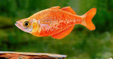 Глоссолепис красный ( Glossolepis incises )