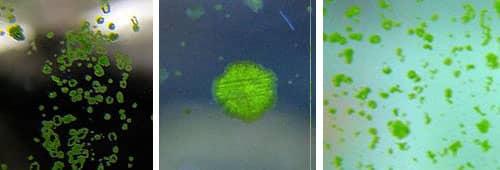 Как удалить пятнистые зелёные водоросли в аквариуме