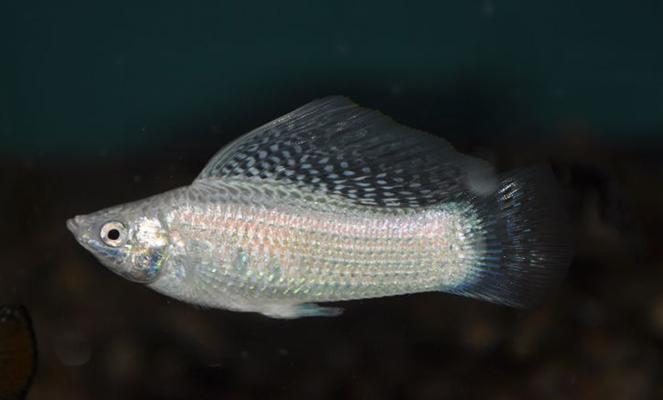 Юкатан молли (лат. Poecilia velifera)