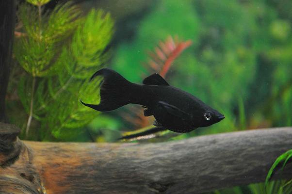 Рыбка Молли  (Poecilia)