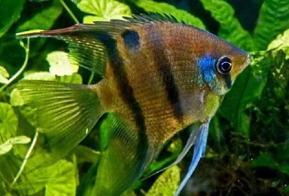 Рыба-ангел Леопольда