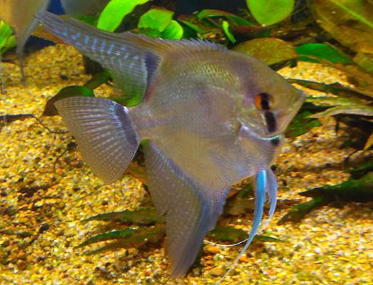Аквариумные растения в аквариуме с рыбами-ангелами