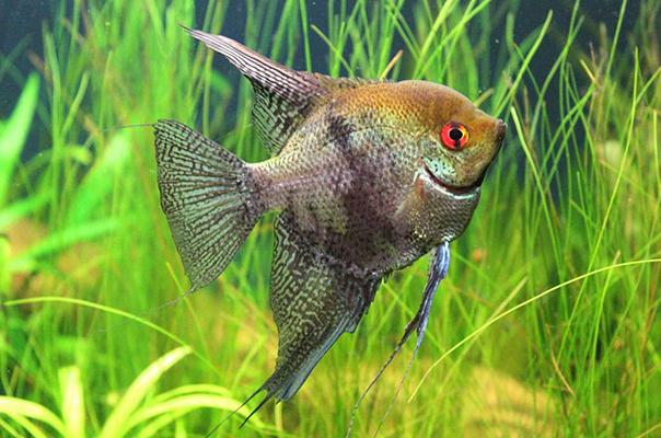 Рыбы-ангелы - как содержать, ухаживать, кормить и разводить
