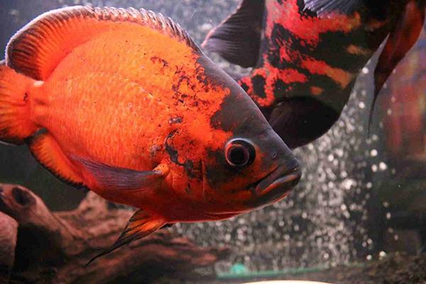Рыбка Оскар: как содержать и разводить эту агрессивную рыбу