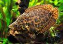 Ктенопома леопардовая (Ctenopoma acutirostre)